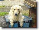 http://www.seznam.czwww.celysvet.cz/images/golden-retriever_23.jpg